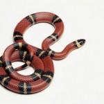 Serpentes da Mata Atlântica Brasileira